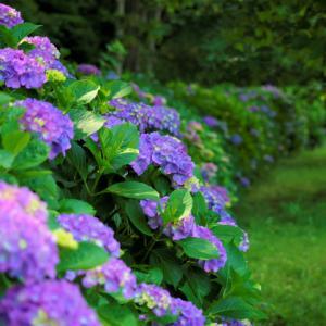 ドッグラン ★紫陽花から~♪★