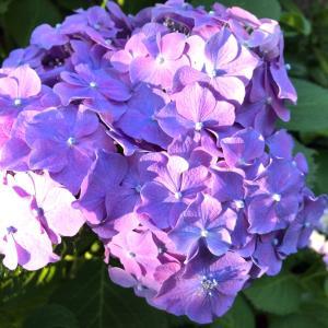 紫陽花とくちなし