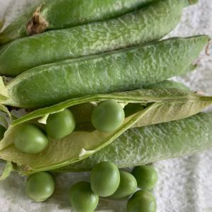 アラスカ豆。