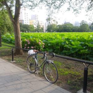 上野 不忍池の蓮