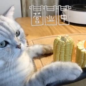 猫が料理する動画