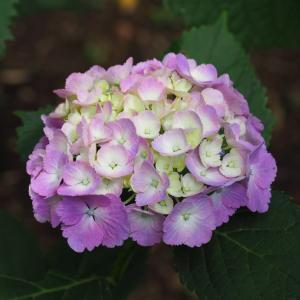 日本寺の紫陽花