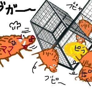 【くくり罠猟】親イノシシ捕獲