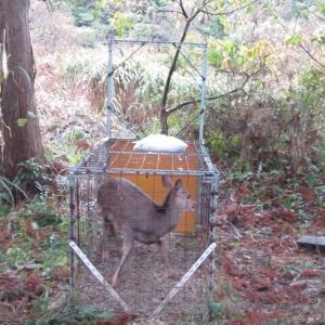 自作箱罠猟鹿捕獲