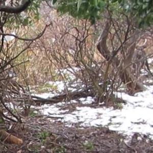 くくり罠鹿二頭捕獲