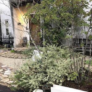 手間いらずの庭|アオダモ、斑入りプリペット、チェリーセージ【庭木】