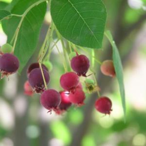 ジューンベリーの種類|おすすめの品種10選!特徴や画像も!