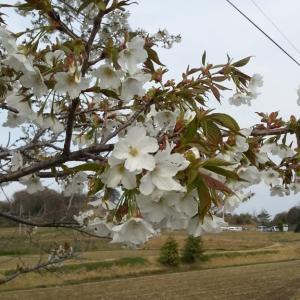 陸トレ中の桜