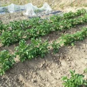ヴィクトリアマイルとジャガイモ土寄せ、追肥など③