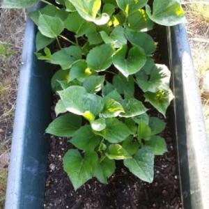 畝待ちの野菜たち、サツマイモ、長ネギ