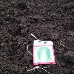 白菜ターサイの種を蒔きました