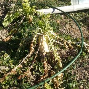耕し掘り返しと埋め戻し、大根、白菜収穫、玉ねぎ葉とり