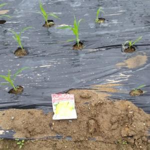 トウモロコシ追蒔種、ニンジン蒔種