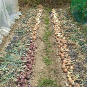 玉ねぎ収穫ほか