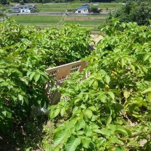 玉ねぎの次はジャガイモ収穫