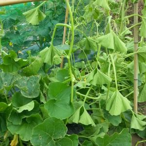 玉ねぎ、ジャガイモが済んで、夏野菜お世話