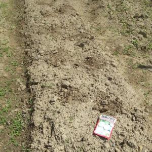 ナス収穫、ピーマン収穫、ターサイ、カブ蒔種