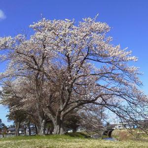 レアな青空 × 桜 × バラ刺繍