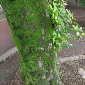 苔生す樹木