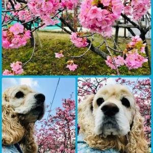 早咲きの桜(╹◡╹)