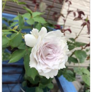 ガブリエル開花とスリップス対策