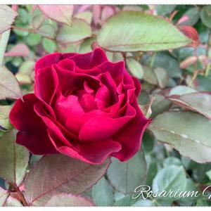 ロサオリエンティス3姉妹の二番花