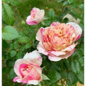 二番花の開花状況