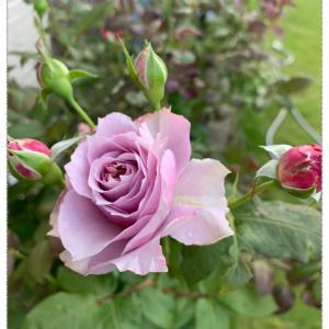 (続)二番花の開花状況と施肥