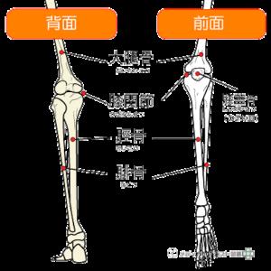 膝関節の機能解剖①