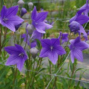 2021梅雨、遠州森町・香勝寺のききょう庭園
