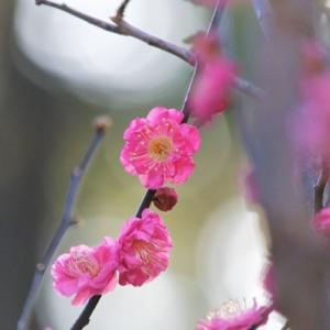 寒梅 Winter Flowers of Japanese Apricot