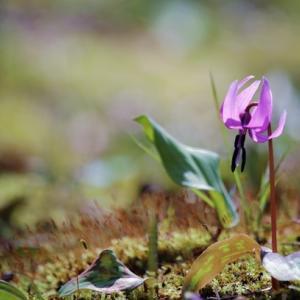 カタクリ ショウジョウバカマ他 Fawnlilies, Wind Flowers, etc.