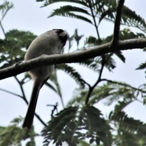 エナガ シジュウカラ メジロ Little Birds