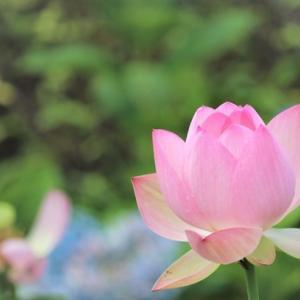 「清らかな心」 Lotus Flowers