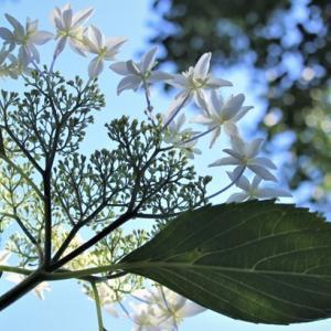 アジサイ苑 Hydrangeas