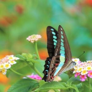 蝶々さん3種 Three Butterflies