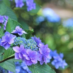 紫陽花とふり幅王子 Hydrangea & Yuzu, various changes