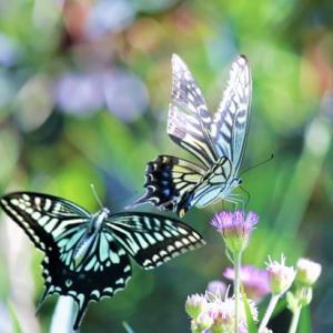 ひずるしい! Asian Swallowtails