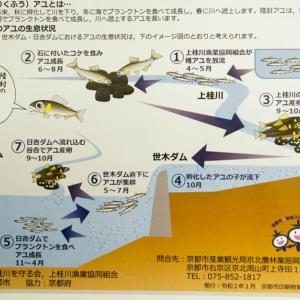 ダム湖に「陸封アユ」か 京都・日吉ダム、19年春に群れ発見