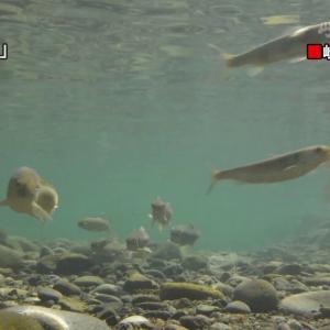 ロープでアユを驚かせて手際よく・・・伝統漁法「瀬張り網漁」 岐阜・長良川