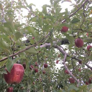 栗ようかん、りんご食べ比べ