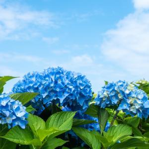 市民の森 紫陽花【市民の森  函館市本町周辺】
