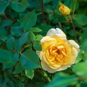 旧イギリス領事館の薔薇