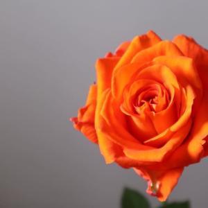 「バラオレンジ」