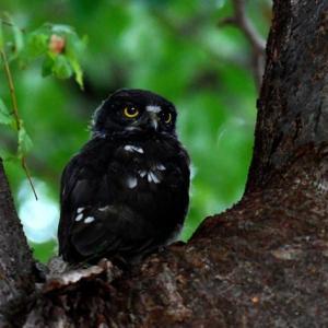 八幡八幡宮のアオバズクの幼鳥