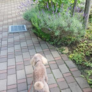 朝散歩でラベンダー、紫陽花、ヤマボウシを発見