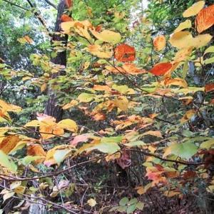 黄色キラキラ・・・相生山黄葉樹林