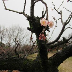 雨あがり 梅の花