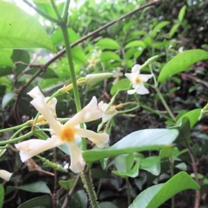ヒメボタルの花 咲きそろう