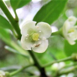 ♀♂どっち?イヌツゲの花